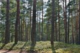 Beautiful view of the pine forest in sunny summer day.