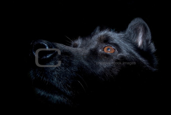 Black alsatian dog against dark background