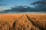 Golden wheat field under dramatic stormy sky landscape
