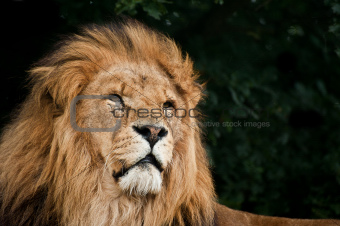 Portrait of King of the Jungle Lion Panthera Leo big cat