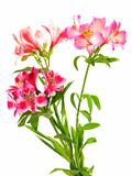 Bouquet of lilies (alstroemeria)