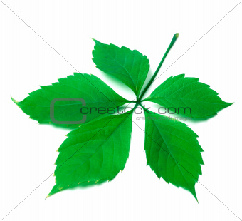 Green virginia creeper leaf on white background
