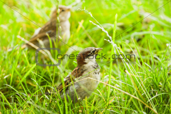 House sparrows or Passer domesticus feeding