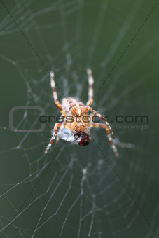 Diadem spider with prey