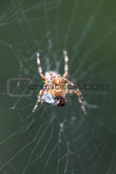 Diadem spider with prey