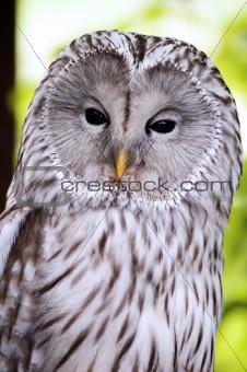An Ural Owl