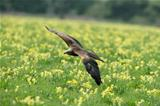 Black Kite
