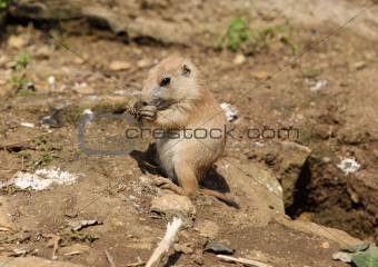 Baby Black-Tailed Prarie Dog