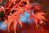 autumnal maple leafs