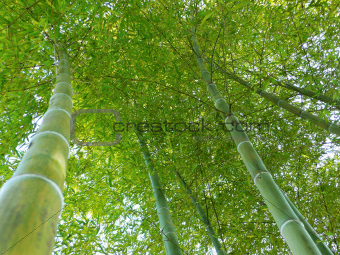 bamboo forest up