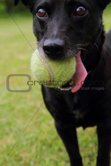 black dog as tennis player
