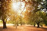 Olive trees farm