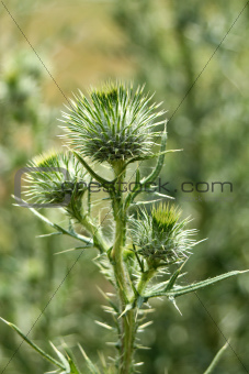 Bull Thistle with thorns