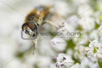 One Bee Gathering Pollen.