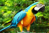 Parrot – Blue-and-Yellow Macaw