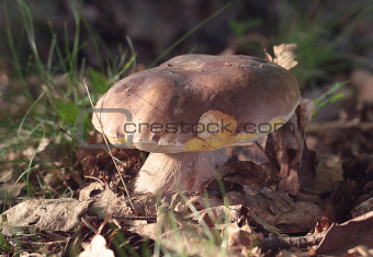 Boletus