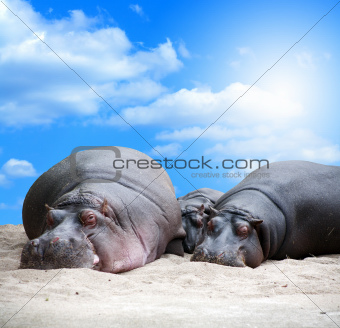 Hippopotamus Family Siesta