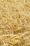 Field of Barley (Hordeum vulgare).