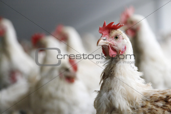 kip in een druk kippenhok
