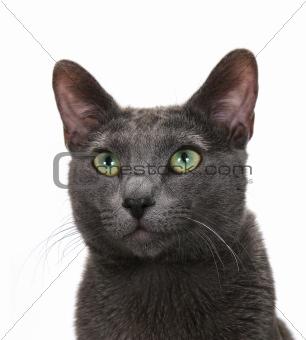Sly gray cat