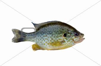 fish bass on white background