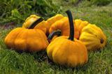 Pumpkin - Cucurbita pepo (Patissons)