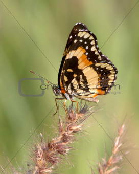 Bordered Patch Butterfly