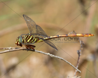 Broad-striped Forceptail Dragonfly