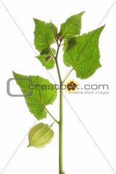 Cape Gooseberry (Physalis peruviana)