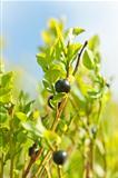 Wild blueberries macro