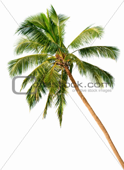 Palm isolated on white background