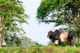 Big asian ox on tropical pasture
