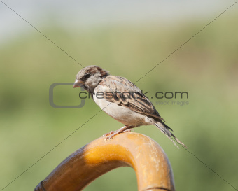 House sparrow perched on a chair