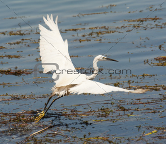 Little egret flying over reeds