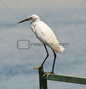 Little egret perched on a railing