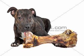 American Staffordshire terrier with a big bone