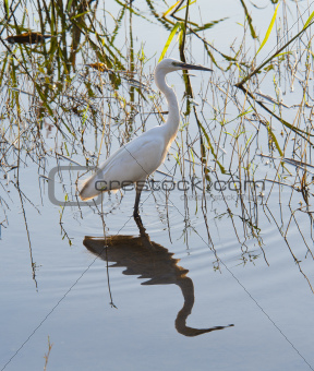 Little egret wading in shallow water