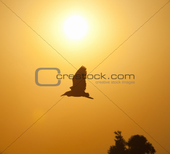 Wild bird flying in sunset