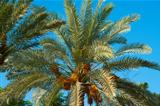 Top of a date palm tree