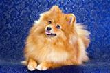 Beauty Pomeranian dog 