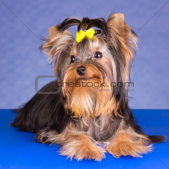 Beauty Yorkshire Terrier lying