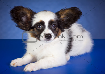 Beautiful Papillon Puppy