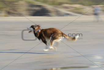 Husky Dog Running Fast on Beach.