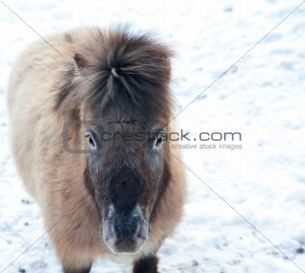 Shetland pony in snow covered Winter landscape