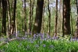 Beautiful image of bluebells woods from very low point of view