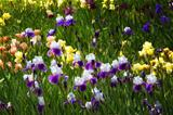 Field of Iris