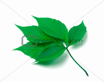 Green virginia creeper leaves on white background