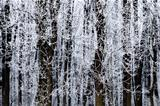 frosted trees in winter