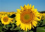 Sunny flower.