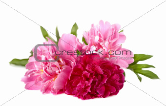 Three peonies on a white background
